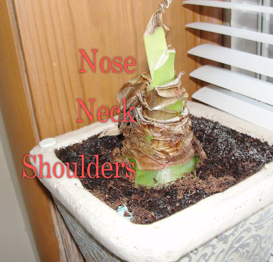 amaryllis bulb care
