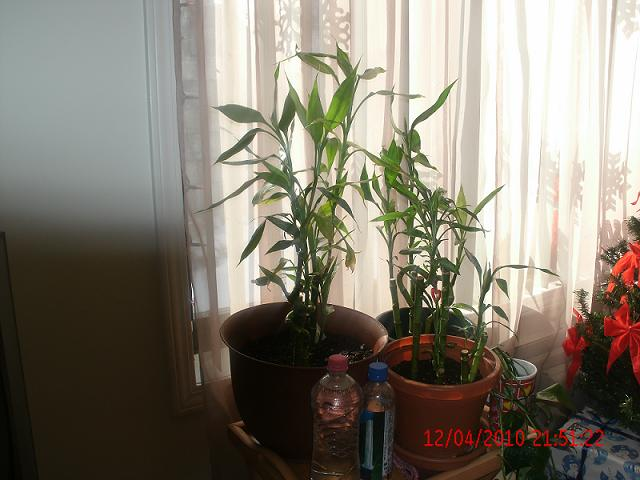 Photo Of Healthy Lucky Bamboo Planted In Soil