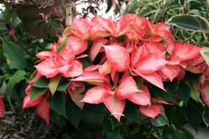 Pink Poinsettia From The Biltmore Estate