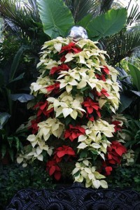Red and White Poinsettia Topiary From The Biltmore
