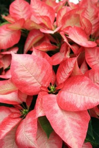 Upclose Pink Poinsettia From The Biltmore Estate