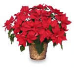 Decorating with Christmas Poinsettias
