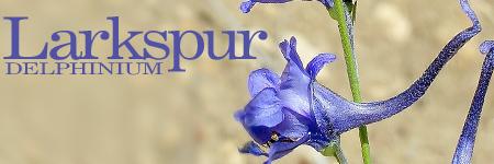 Larkspur | Delphinium
