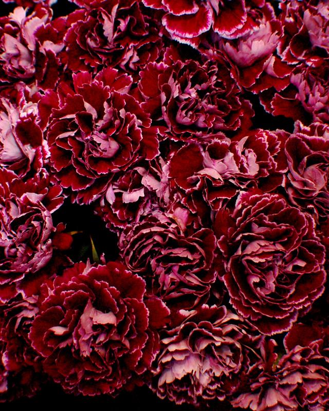 Carnation Making a Comeback