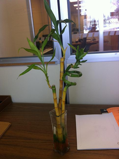 Your Top Questions About Lucky Bamboo Care Answered