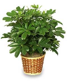 When do you transplant an umbrella plant - Pianta schefflera ...