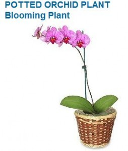 Blooming Plant Orchid