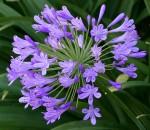 Agapanthus Purple Flower