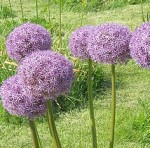 Allium Purple Flowers