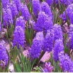 Hyacinth Purple Flowers