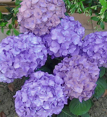 june flower spotlight hydrangea, Natural flower