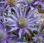 Sea Holly Purple Flowers