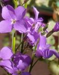 Amethyst Flowers - Purple Stock