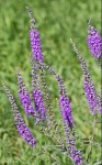 Veronica Purple Flower
