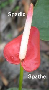 Fsn S Favorite Flower For February Anthurium