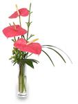 Anthurium Makes Valentine's Day Rose Alternative