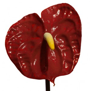 Tropical Flower - Anthurium