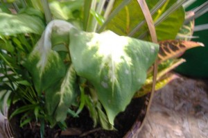 Wilted Dieffenbachia Leaf with Spots