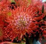 Red Protea Pincushion