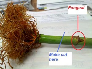 Lucky Bamboo With Fungus