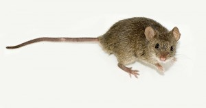 What Plants Repel Mice And Rats