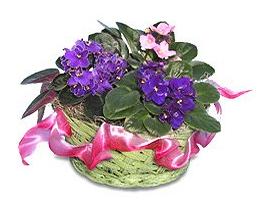 African Violets Safe For Pets