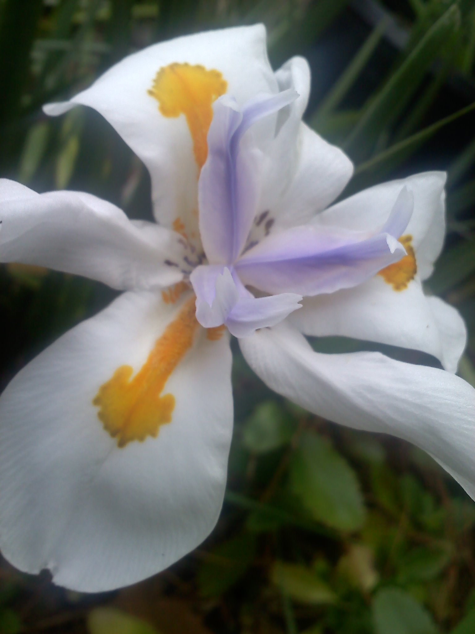 What is this beautiful white flower blooming after 5 years african iris fortnight lily mightylinksfo