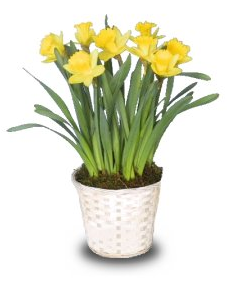 Birthday Flower For March - Potted Daffodil