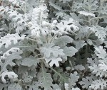 White Dusty Miller