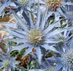 Light Blue Sea Holly