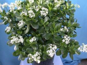 Jade Plant - Crassula Argentea