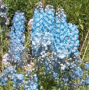 Larkspur Light Blue Flower