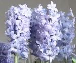 Aquamarine/Light Blue Hyacinth Flowers