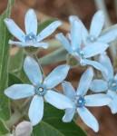 Light Blue Tweedia