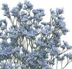 Limonium Light Blue/Aquamarine Flower