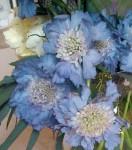 Scabiosa Light Blue Flowers