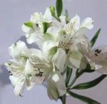 White Alstromeria