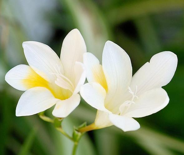 Unique diamond white flower guide white freesia mightylinksfo