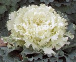 White Ornamental Kale