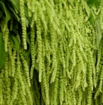 thewildorchidllc.com Green Amaranthus
