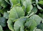 Emerald Green Kale