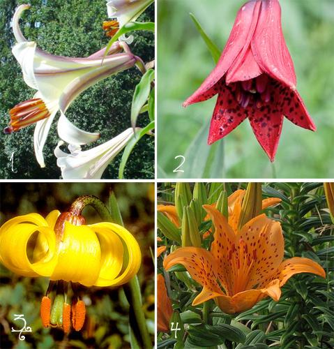 The Lavish Lily