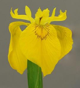 Flag Iris - Fleur De Lis
