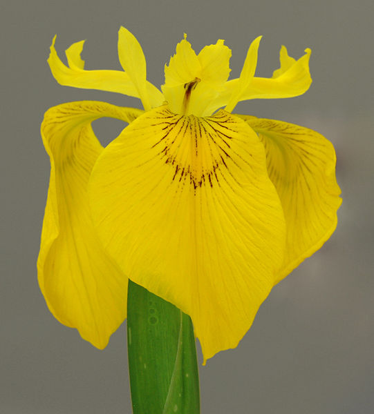 the most popular iris in the world flag iris. Black Bedroom Furniture Sets. Home Design Ideas
