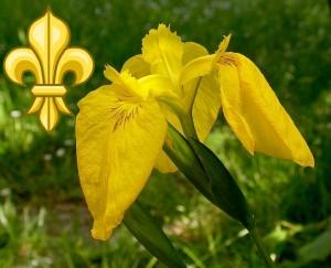 Yellow Flag Iris - Fleur De Lis