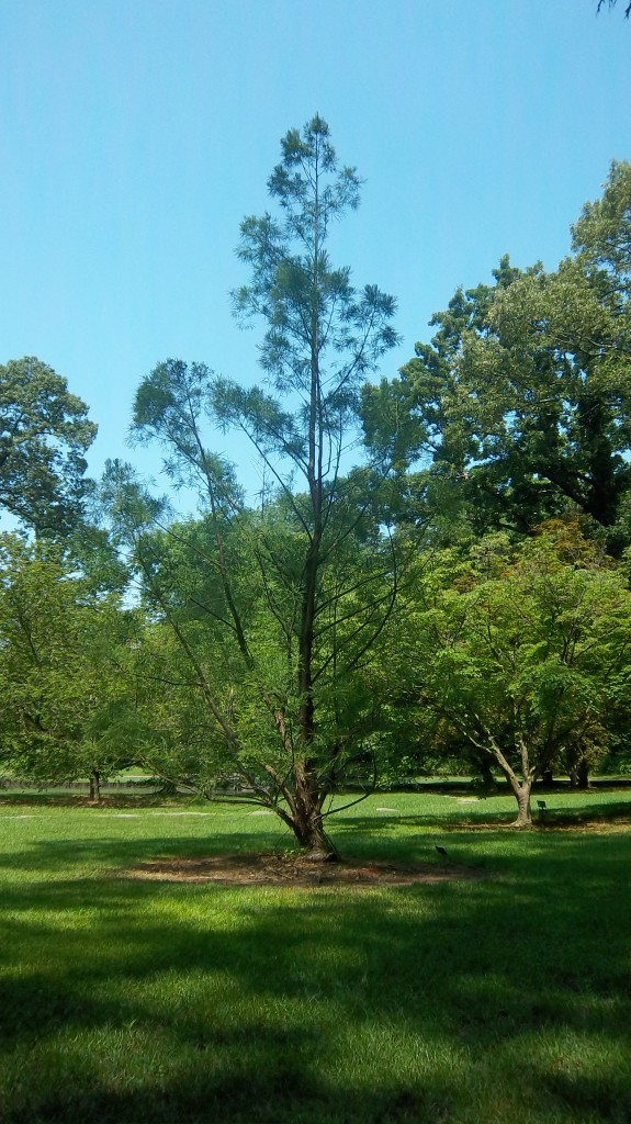 Chinese Water Pine - Glyptostrobus pensilis