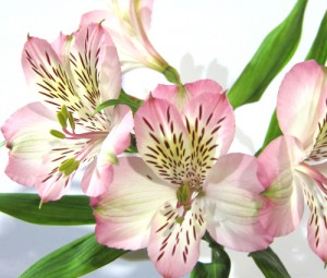 Light Pink Alstroemeria