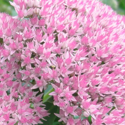 Alexandrite Light Pink Flower Guide