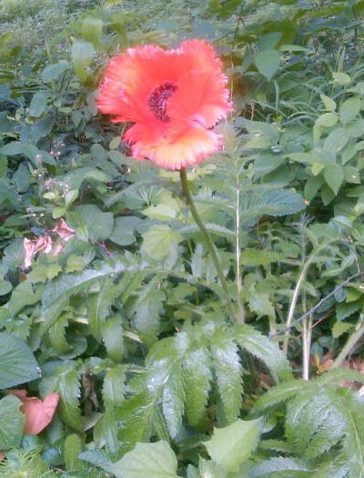 What is this flower that just popped up poppy mightylinksfo