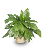 Peace Lily Spathiphyllum Clevelandii